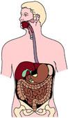 Quels sont les cinq organes qui constituent l'appareil digestif?