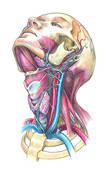 Quel est l'organe principal irrigué par l'artère carotide interne ?