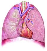 Quel est le vaisseau sanguin qui transporte le sang pauvre en oxygène du coeur aux poumons ?