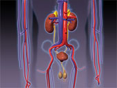 Qu'est-ce qui transporte l'urine de chaque rein jusqu'à la vessie ?