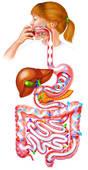 Qu'est-ce qui permet de transporter les aliments dans le tube digestif ?