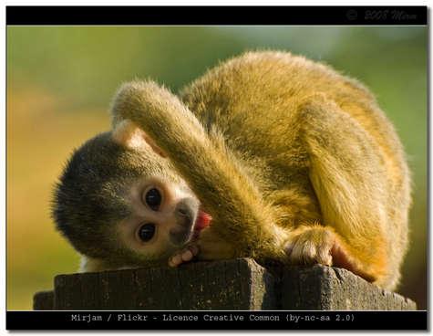 Quel est donc cette race de singe ?